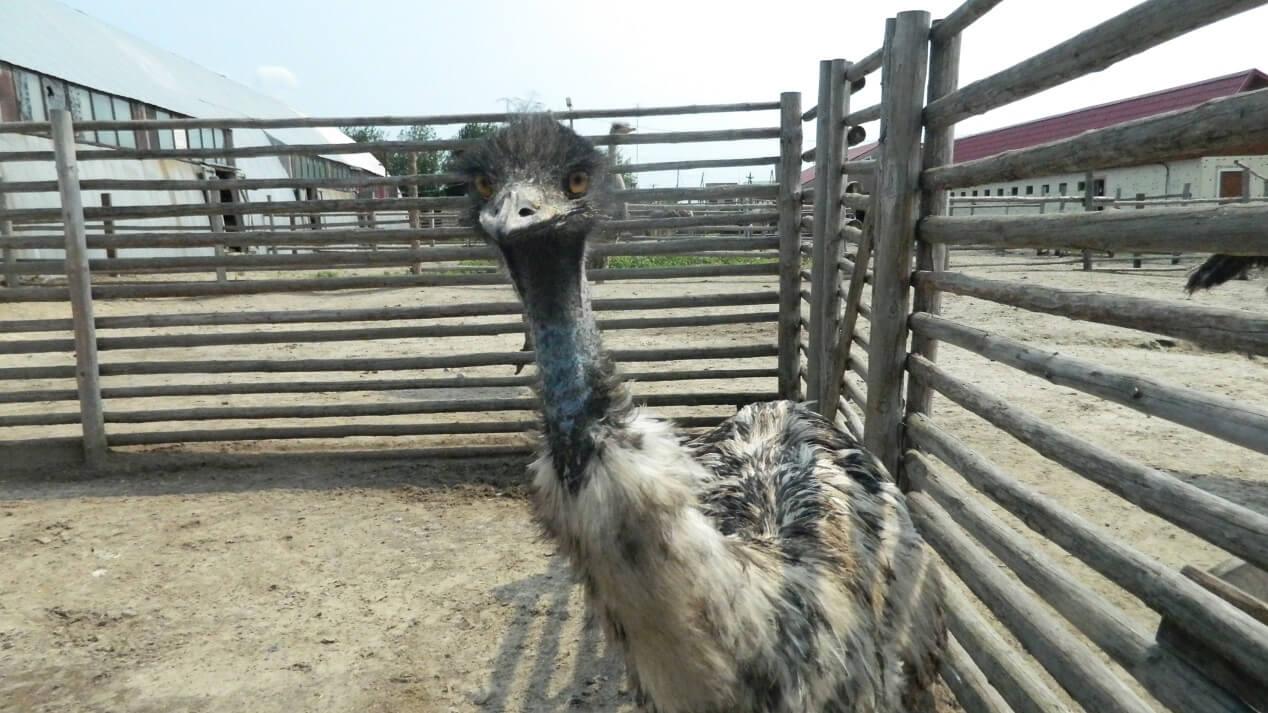 Австралийский страус Эму.
