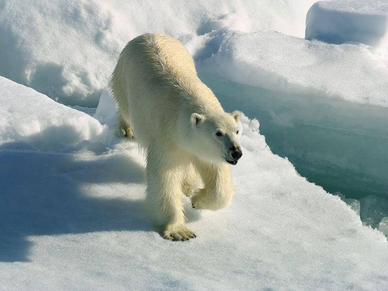 белый медведь для рыбалки